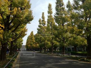 大学の並木道ですの写真・画像素材[1080338]