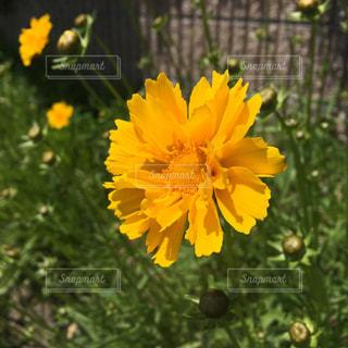 黄色いデイジー?の花:1輪の写真・画像素材[1164423]