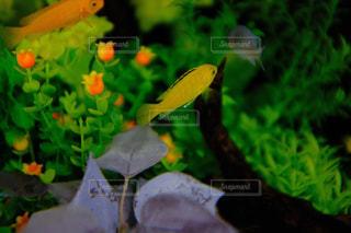 水槽で泳ぐ熱帯魚の写真・画像素材[1072385]