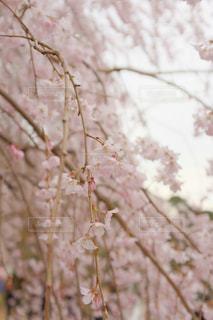 しだれ桜の写真・画像素材[1072866]