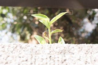 ニョキッと伸びた葉🌱の写真・画像素材[1092905]