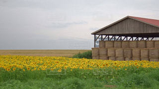 北海道のひまわり畑の写真・画像素材[733271]