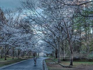 桜並木の写真・画像素材[2083063]