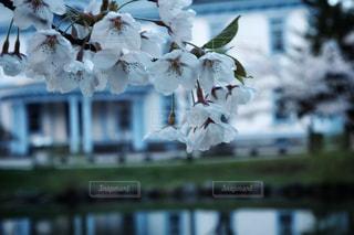 雨上がりの桜の写真・画像素材[2223965]