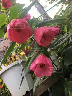 木からぶら下がっている赤い花の写真・画像素材[753755]