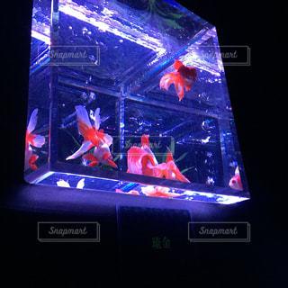 金魚の写真・画像素材[346262]