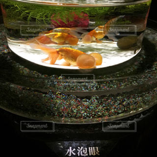 金魚の写真・画像素材[346266]