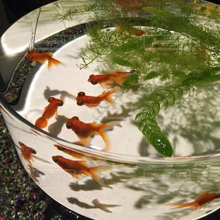 金魚の写真・画像素材[346267]