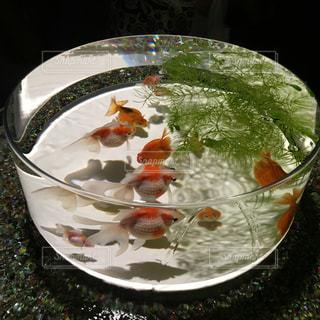 金魚 - No.346268