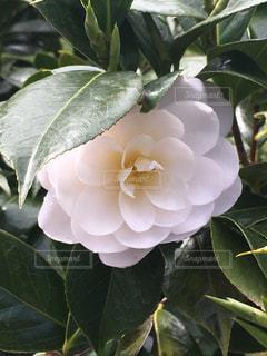 美しい花の写真・画像素材[523430]