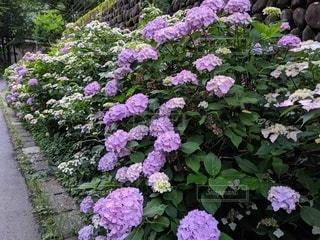 大きな紫色の花が庭にあるの写真・画像素材[3429967]