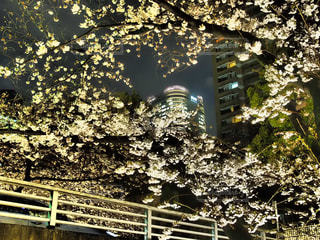 桜の写真・画像素材[418533]