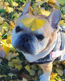 frenchbulldog フレンチブルドッグ  犬 鼻ぺちゃ ぶさかわの写真・画像素材[346692]