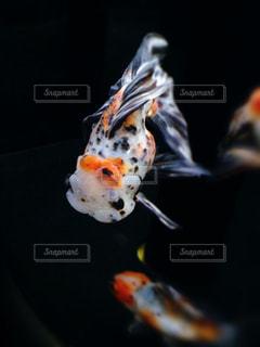 金魚の写真・画像素材[880229]