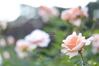 近くの花のアップの写真・画像素材[899076]