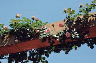 バラの庭園の写真・画像素材[1833326]