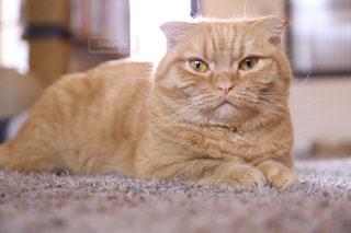 猫,かわいい,ねこ,癒し,猫カフェ,Cute,canon,カメラ目線,マンチカン,短足,猫好き