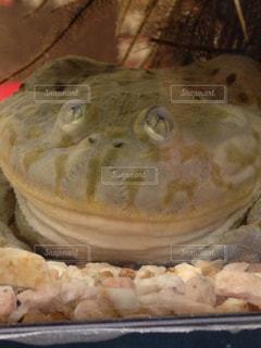 カエルの写真・画像素材[371104]