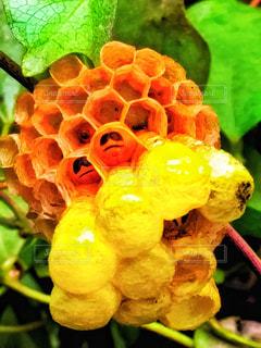 蜂の写真・画像素材[347303]