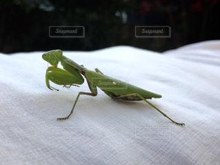 白い表面に緑色の昆虫の写真・画像素材[1774706]