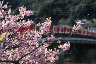 桜の写真・画像素材[351927]