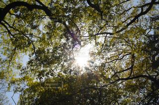 大きな木の写真・画像素材[1565686]