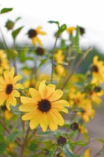 黄色の花の写真・画像素材[1661730]