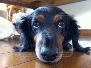 カメラを見ている犬の写真・画像素材[3526208]