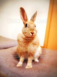 ミニウサギの「きなこ」 - No.348463