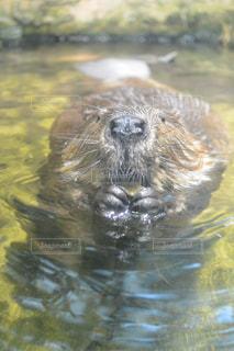 泳ぐビーバーの写真・画像素材[725671]