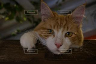 猫の写真・画像素材[350409]