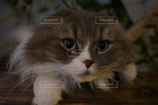 猫の写真・画像素材[350411]