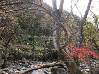 森の大きな木の写真・画像素材[896122]