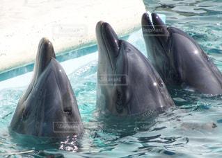 イルカの写真・画像素材[349341]