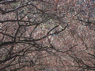 梅の写真・画像素材[360538]