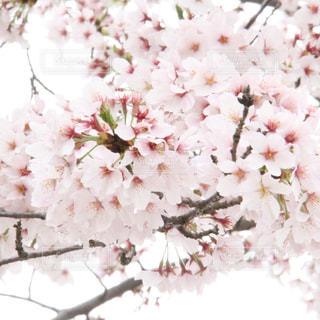 桜の写真・画像素材[353858]