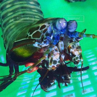 #アクア#モンハナシャコ#アクアリュウム#aquaの写真・画像素材[349577]