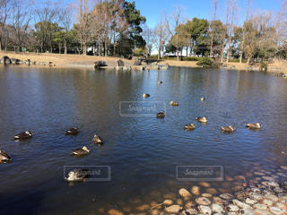池の鴨の写真・画像素材[1006998]