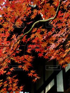 秋,紅葉,赤,もみじ