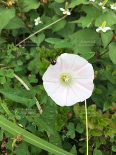 てんとう虫の写真・画像素材[537335]