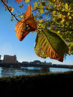 大きなツリーの下を流れる鶴見川の写真・画像素材[877991]