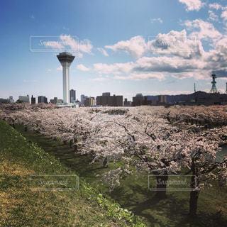 桜の写真・画像素材[457602]