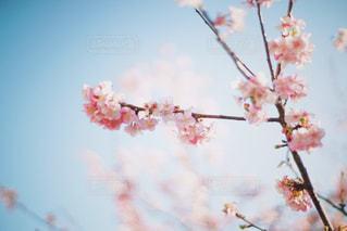 桜の写真・画像素材[1057524]