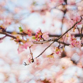 桜の写真・画像素材[1057525]