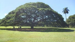 大木の写真・画像素材[350684]
