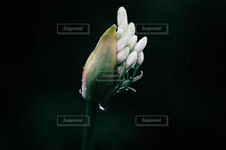 アガパンサスの蕾の写真・画像素材[792107]