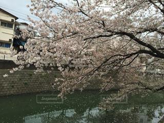 No.353462 桜