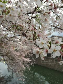 桜 - No.353463