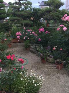ピンクの花が庭園に - No.1195034
