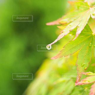 モミジ   葉     緑     ガーデンの写真・画像素材[610951]